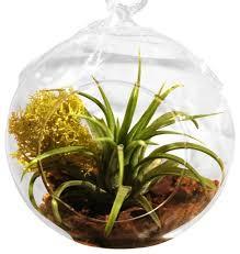 air plant terrarium hanging u2013 airplantcompany com
