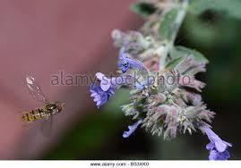 Catnip Flower - catmint nepeta cataria stock photos u0026 catmint nepeta cataria stock