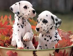 61 dalmatian dog art portraits photographs information