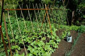growing beans in minnesota home gardens vegetables yard and
