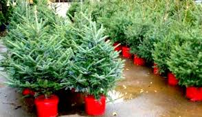 15 on potted trees at de antoni nursery italy by us