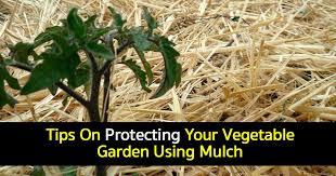 mulching vegetable garden