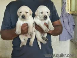 boxer dog quikr all breed pup for sale in faridabad in jitender pet shop in