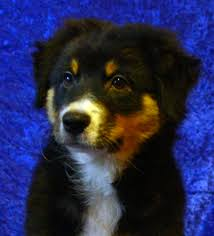 australian shepherd puppies for sale los angeles australian shepherd puppies and dogs for sale in usa