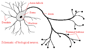 neuron anatomy gallery human anatomy image