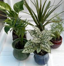 amazon com miniature garden plants 3 plants in 3