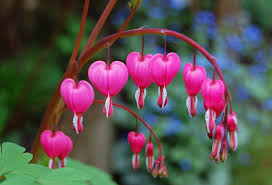 bleeding heart flower bleeding heart flowers maggie flickr