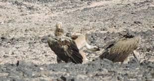 Seeking Vulture Birding For A Lark Mazyunah In The Afternoon