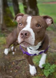 american pitbull terrier hound mix shelter dogs of portland