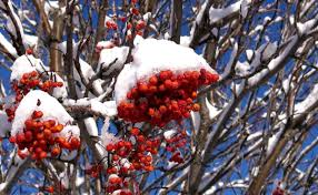 native manitoba plants top winter plants b rocke landscaping