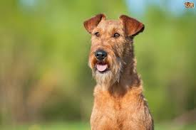 irish terrier dog breed information buying advice photos and