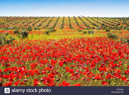 Andalucia Spain Map by Poppy Field In The Province Of Seville Andalusia Spain Campo De