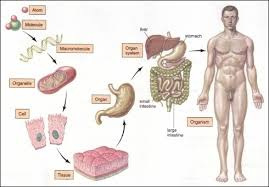 Anatomy And Physiology Human Body Hierarchy Human Body Basics Anatomy Physiology Pinterest