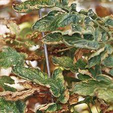 Plant Diseases Identification - best 25 tomato plant diseases ideas on pinterest tomato