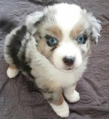 australian shepherd youtube australian shepherd puppies pure bred mini u0027s kevin frazier