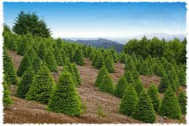 Pacific Northwest Christmas Tree Association - grand fir fresh christmas trees