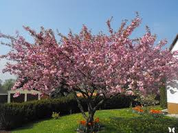 free photo ornamental cherry cherry tree free image on