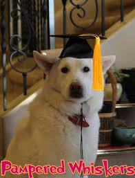 dog graduation cap and gown graduation cap for dogs and cats