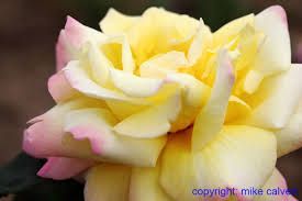 yellow roses with tips floral picture gallery new grown roses