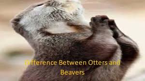 difference between otters and beavers youtube