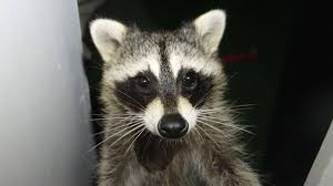 raccoons attack another resident in arlington neighborhood nbc4