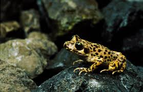 a frog killing fungus finally meets its match on the island of