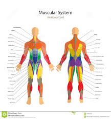 muscle training anatomy gallery learn human anatomy image