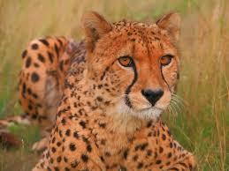 cheetah head vector art u0026 graphics freevector com
