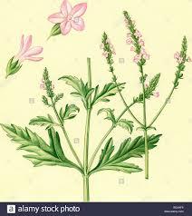 illustration of verbena or vervain verbena officinalis bgjhf6 jpg