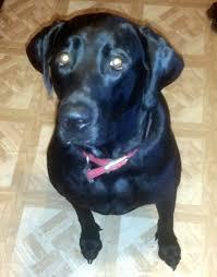 bluetick coonhound terrier mix pit bull lab mix with a little saint bernard allmutt com