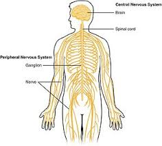 What Is A Reflex Action Example Central Nervous System Wikipedia