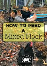 What To Feed Backyard Chickens by How To Feed A Mixed Flock Of Poultry Timber Creek Farm