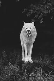 Angry Wolf Meme - animals black and white wolf nature wild wolve arctic wolf angry