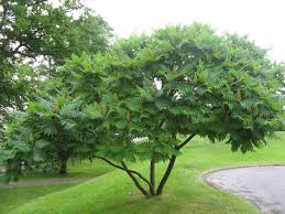 illinois native plant society rhus typhinna multistem character trees pinterest patio