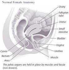 Female Anatomy Organs Pelvic Organ Prolapse Women U0027s Healthcare Of Illinois