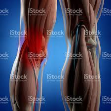 Picture Of Human Knee Muscles Human Anatomy Back Of Legs Calf Muscles Knees 3d Illustration