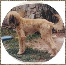 afghan hound top speed alf beautiful first afghan hound afghan hound
