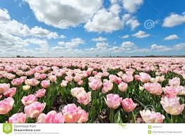 pink tulip field and blue sky stock photo image 54810747
