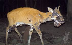 recognize 5 common lethal deer diseases outdoorhub