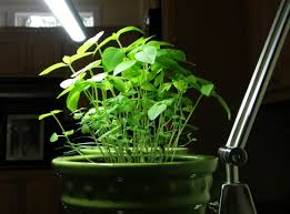growing plants indoors with artificial light growing basil indoors