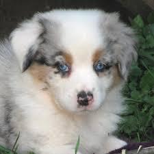 australian shepherd lab puppy faithwalk aussies eyes pigment markings