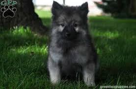 american eskimo dog vs keeshond american eskimos keeshound mixes keisha keeshond puppy for sale