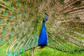 merak hijau gambar rumput sayap margasatwa pola hijau rimba warna