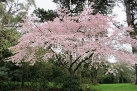pruning cherry trees tikorangi the jury garden