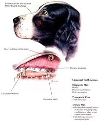 Dog Tooth Anatomy Canine Dentition Photo Hill U0027s Atlas Of Veterinary Clinical Anatomy