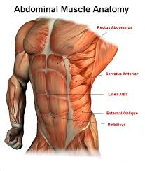 Interactive Muscle Anatomy Male Abdominal Muscle Anatomy Workout Illustrations Pinterest