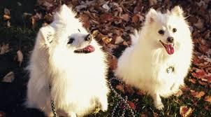 care for american eskimo dog fall in love with the american eskimo dog rover com