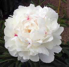 Bulk Peonies The Festival Maxima Peony Is Characterized With Drizzles Of