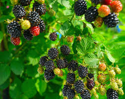 growing blackberry plants how to grow blackberries