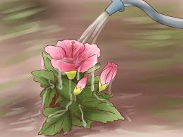 how to grow hibiscus outdoors 12 steps wikihow